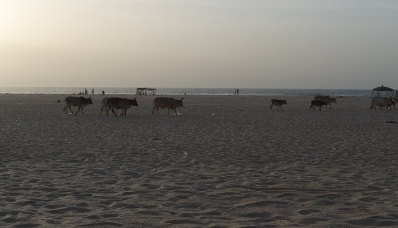 Cattle on the beach.