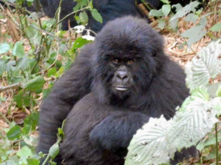 Gorilla-cucciolo